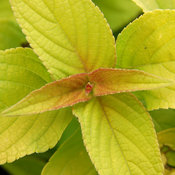 salvia_golden_delicious_fol_closeup_brent_horvath.jpg