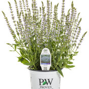 salvia_perfect_profusion_1-gal.jpg