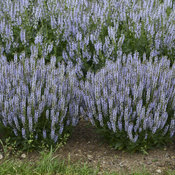 salvia_perfect_profusion_cjw16.jpg