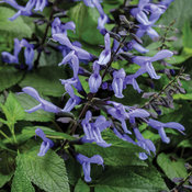 Rockin'® Blue Suede Shoes™ - Salvia hybrid