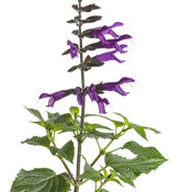 salvia_rockin_deep_purple_01.jpg