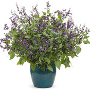 Rockin'™ Deep Purple - Salvia