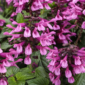 Unplugged® Pink™ - Salvia hybrid