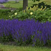 Color Spires® 'Violet Riot' - Perennial Salvia - Salvia nemorosa