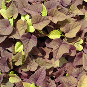 Proven Accents® 'Sweet Caroline Sweetheart Red' - Sweet Potato Vine - Ipomoea batatas