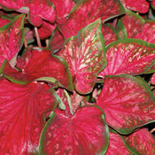 Heart to Heart™ 'Scarlet Flame' - Sun or Shade Caladium - Caladium hortulanum