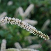 scentlandia_itea_bloom_closeup.jpg