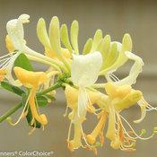 'Scentsation' - Honeysuckle - Lonicera periclymenum ... - photo #27