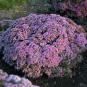 Rock 'N Grow® 'Pride and Joy' - Stonecrop - Sedum hybrid