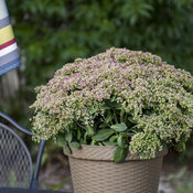 sedum_pride_and_joy_apj19_10.jpg