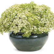 sedum_rock_n_growr_bundle_of_joy.jpg