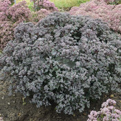 sedum_superstar2.jpg