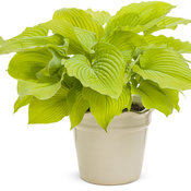 Shadowland® 'Coast to Coast' - Hosta