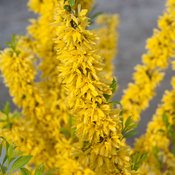 show_off_forsythia-3.jpg