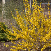 show_off_forsythia-7468.jpg