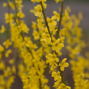 show_off_forsythia-7525.jpg