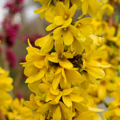Show Off Starlet forsythia