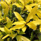 Sicilian Sunshine® - Sweet bay - Laurus nobilis