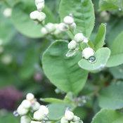 Snow Day Surprise Pearl-bush