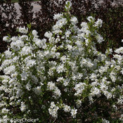 snow_day_blizzard_exochorda-5781.jpg