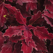 ColorBlaze® Royale Cherry Brandy® - Coleus - Solenostemon scutellarioides