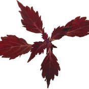 solenostemon_colorblaze_cherry_brandy_01.jpg