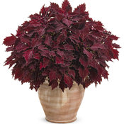 solenostemon_colorblaze_cherry_brandy_mono.jpg