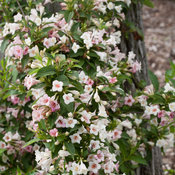 sonic_bloom_pearl_weigela-6832.jpg