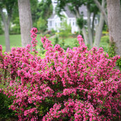 sonic_bloom_pink_weigela-0566.jpg