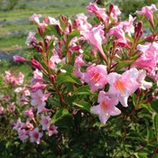 Sonic Bloom® Pure Pink - Weigela florida