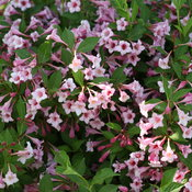 sonic_bloom_pure_pink_weigela_2.jpg