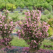 sonic_bloom_pure_pink_weigela_3.jpg