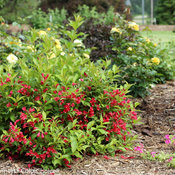 sonic_bloom_red_weigela-7203.jpg