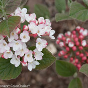 Spice Girl® - Korean Spice Viburnum - Viburnum carlesii