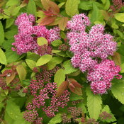 Double Play Big Bang® - Spirea - Spiraea x