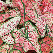 Heart to Heart™ 'Splash of Wine' - Shade Caladium - Caladium hortulanum