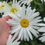 Spoonful of Sugar - Shasta Daisy - Leucanthemum superbum