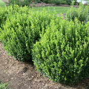 sprinter_boxwood_hedge.jpg