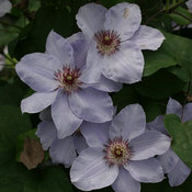 still_waters_clematis-2.jpg