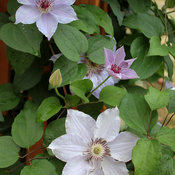 still_waters_clematis-3.jpg