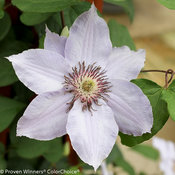 still_waters_clematis-4.jpg