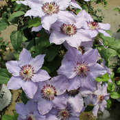 still_waters_clematis-7.jpg