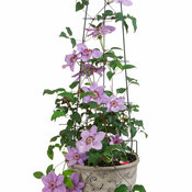 still_waters_clematis-8.jpg