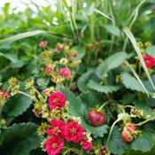 Berried Treasure® Red - Strawberry