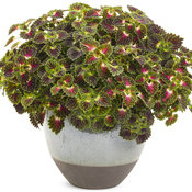 strawberry_drop_coleus_01.jpg