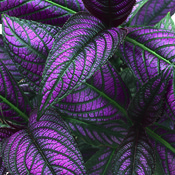 strobilanthes_dyerianus_persian_shield_varietal.jpg