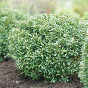 Strongbox® - Inkberry holly - Ilex glabra