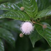Sugar Shack cephalanthus