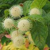 Sugar Shack buttonbush