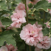 Sugar Tip®  - Rose of Sharon - Hibiscus syriacus